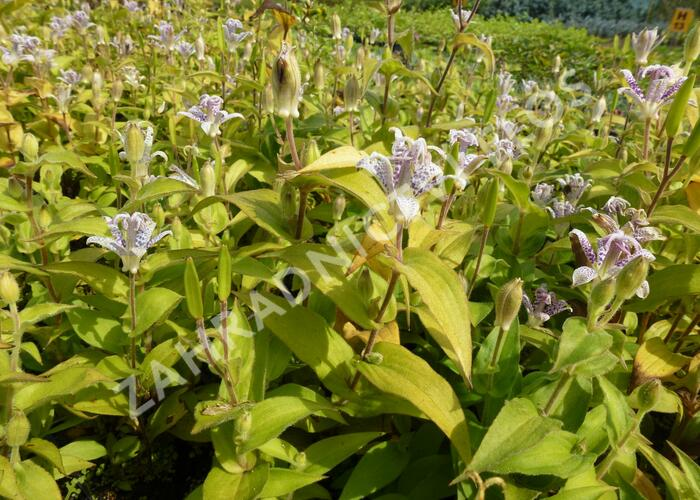 Hadí lilie - Tricyrtis hirta