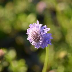 Hlaváč japonský - Scabiosa japonica var. alpina