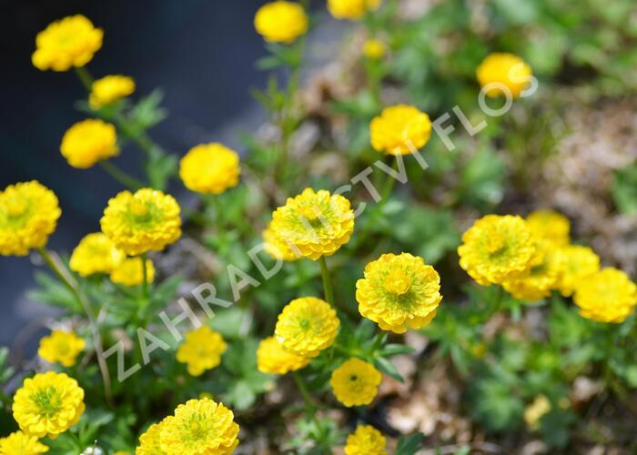 Pryskyřník 'Flore Pleno' - Ranunculus aconitifolius 'Flore Pleno'