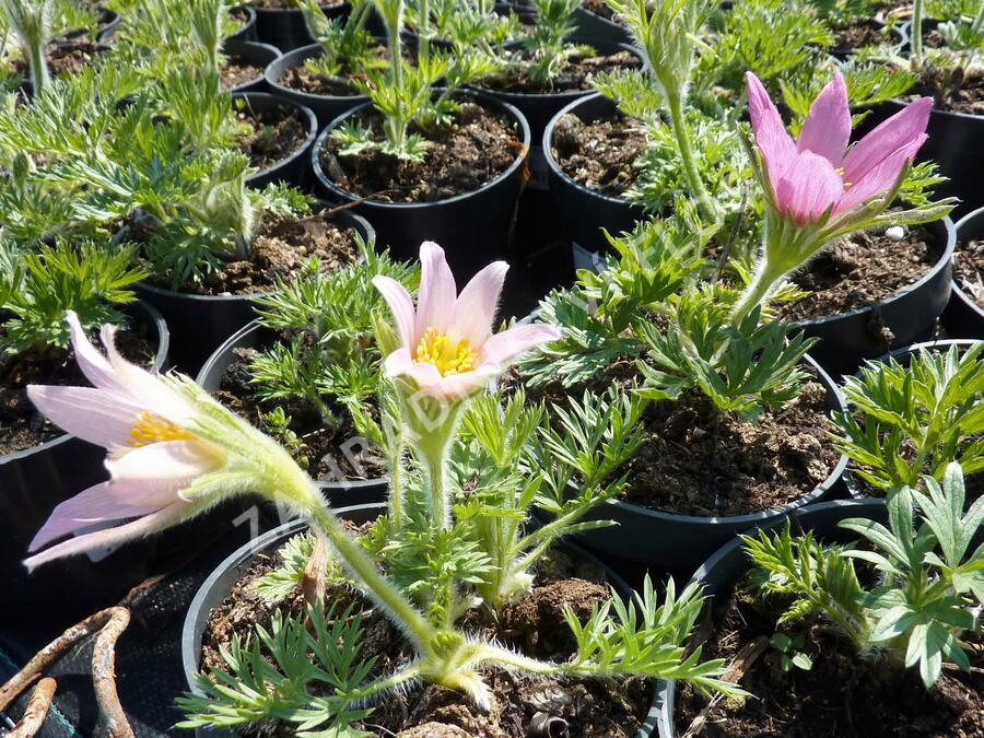 Koniklec obecný 'Pink Shades' - Pulsatilla vulgaris 'Pink Shades'