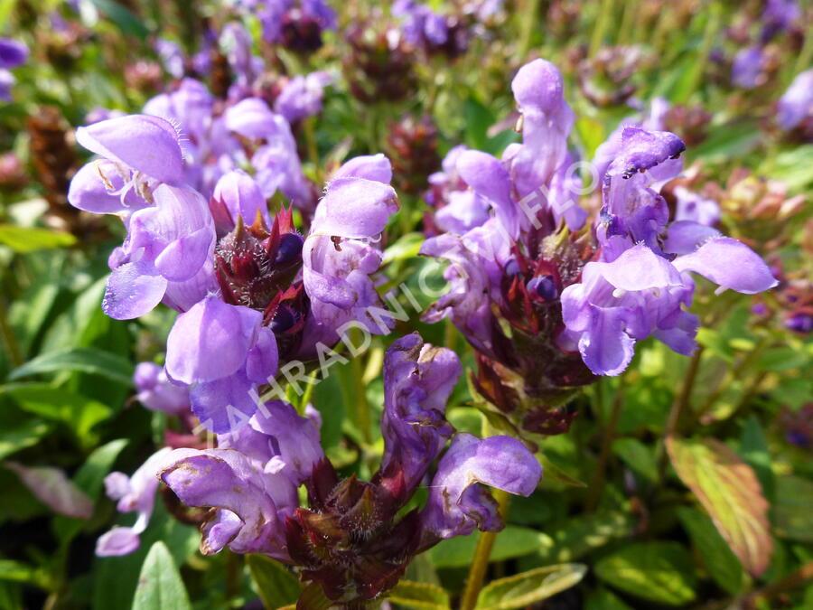 Černohlávek velkokvětý 'Freelander Blue' - Prunella grandiflora 'Freelander Blue'