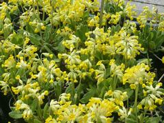 Prvosenka jarní 'Cabrillo' - Primula veris 'Cabrillo'