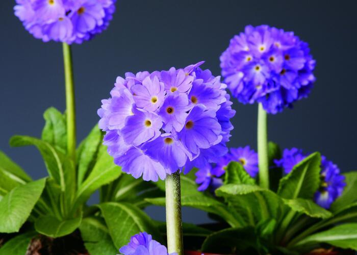 Prvosenka zoubkatá 'Confetti Blue' - Primula denticulata 'Confetti Blue'