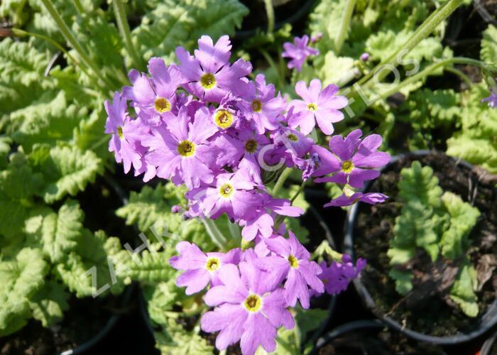 Prvosenka 'Primadiente' - Primula cortusoides 'Primadiente'