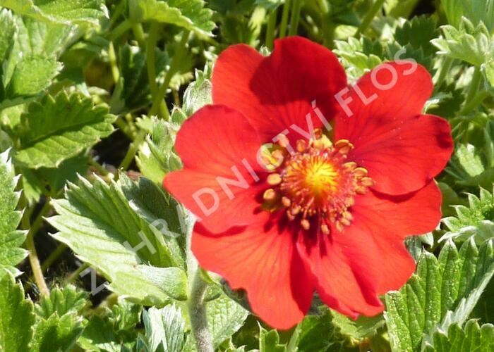 Mochna tmavočervená - Potentilla atrosanguinea