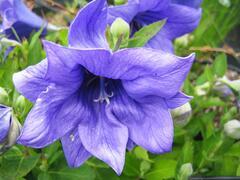 Boubelka 'Astra Double Blue' - Platycodon grandiflorus 'Astra Double Blue'