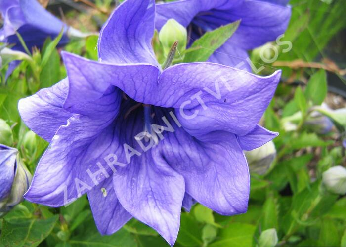 Boubelka 'Astra Double Blue' - Platycodon grandiflorus 'Astra Double Blue'