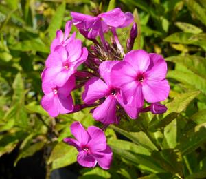 Plamenka latnatá 'Junior Dream' - Phlox paniculata 'Junior Dream'