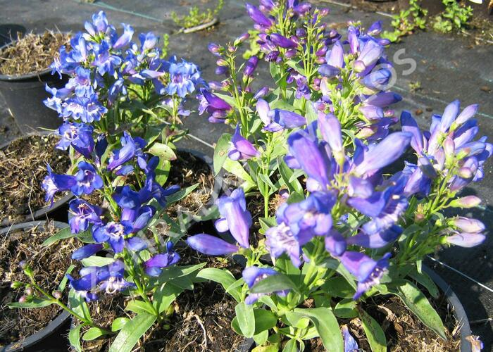 Dračík 'Pinacolada Violet Shades' - Penstemon barbatus 'Pinacolada Violet Shades'