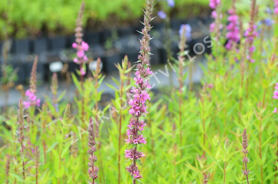 Kyprej vrbice 'Rote Hybriden' - Lythrum salicaria 'Rote Hybriden'