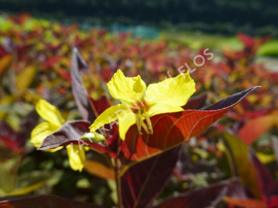 Vrbina 'Firecracker' - Lysimachia ciliata 'Firecracker'