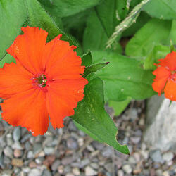 Kohoutek 'Lumina Orange' - Lychnis x haageana 'Lumina Orange'