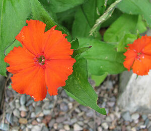 Kohoutek 'Lumina Orange' - Lychnis x haageana 'Lumina Orange'