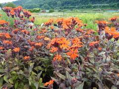 Kohoutek 'Lengai Orange' - Lychnis x haageana 'Lengai Orange'