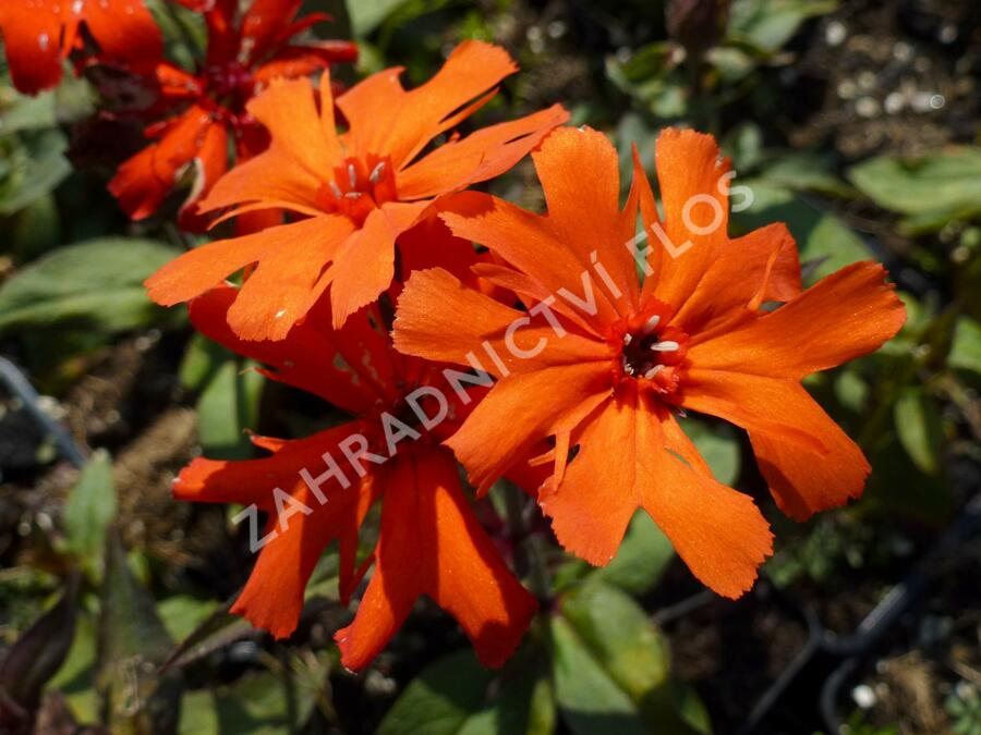 Kohoutek 'Lengai Orange' - Lychnis x haageana 'Lengai Orange'