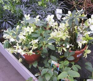 Čemeřice černá 'White January' - Helleborus niger 'White January'