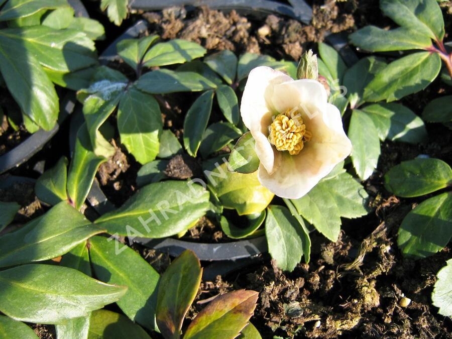 Čemeřice černá 'White January' - Helleborus niger 'White January'