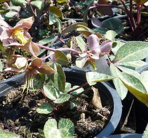 Čemeřice sivozelená 'Purple Rose' - Helleborus lividus 'Purple Rose'