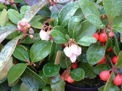 Libavka polehlá 'Red Baron' - Gaultheria procumbens 'Red Baron'