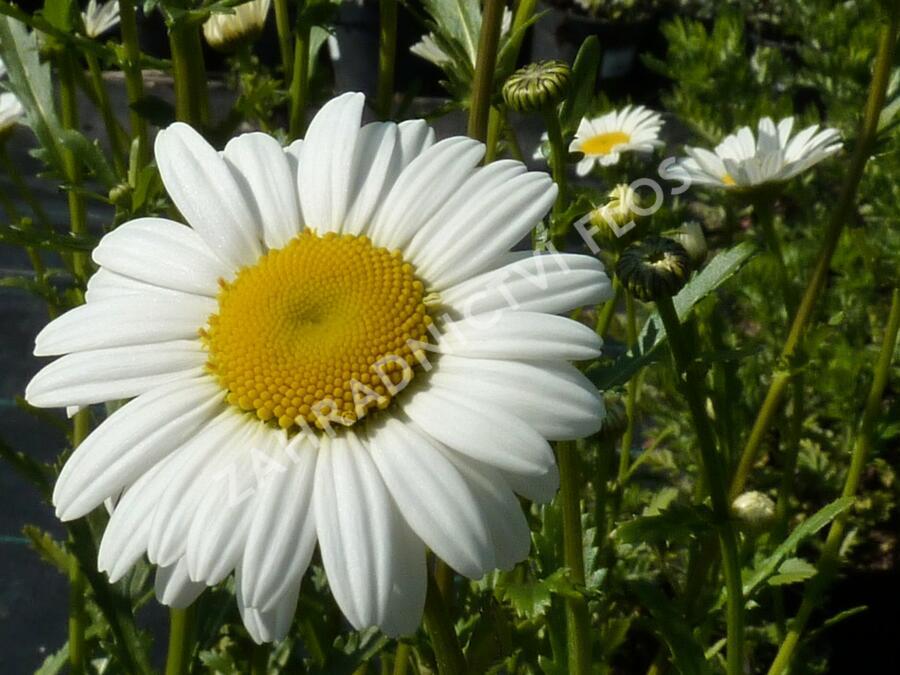 Kopretina - Leucanthemum maximum
