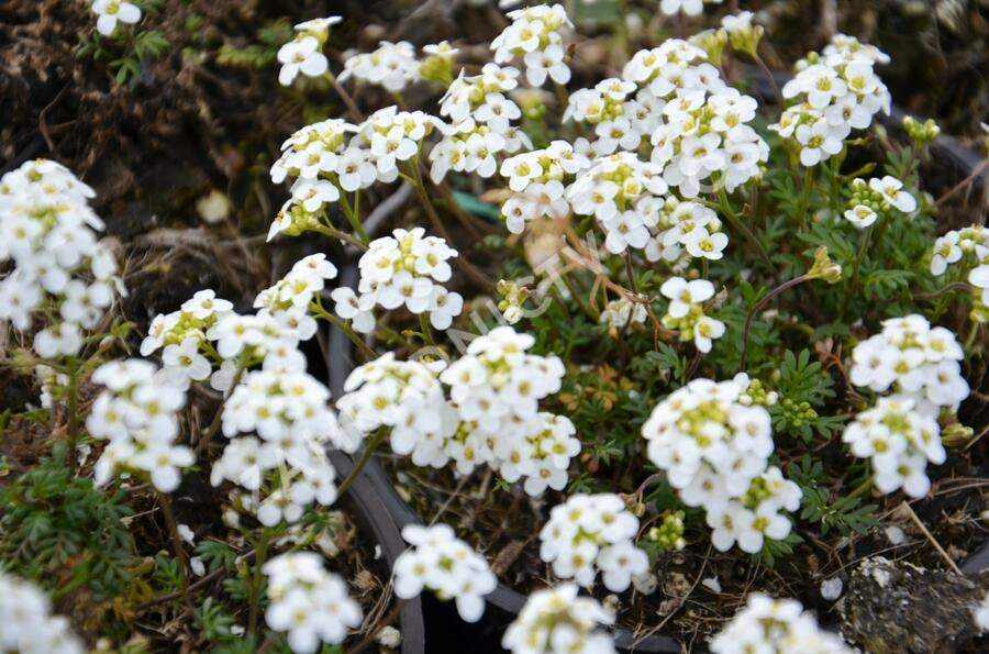 Řeřuška - Hutchinsia alpina