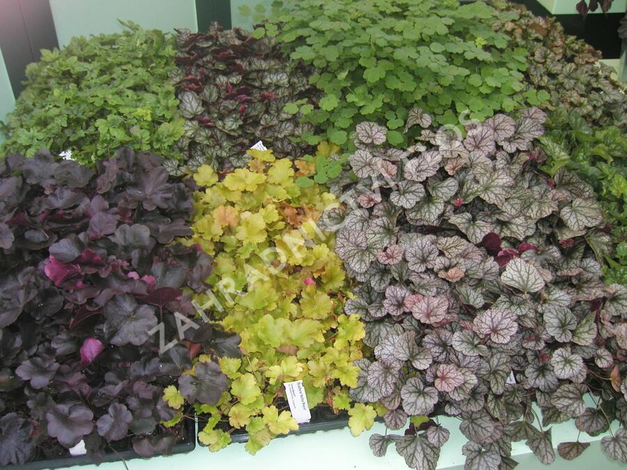 Dlužicha - Heuchera mix