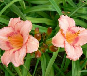 Denivka 'Strawberry Candy' - Hemerocallis 'Strawberry Candy'