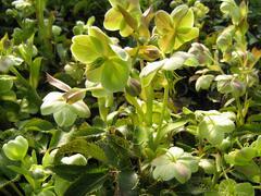 Čemeřice - Helleborus x sternii