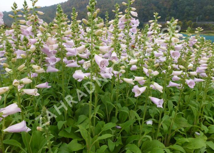 Náprstník červený 'Camelot Lavender' - Digitalis purpurea 'Camelot Lavender'