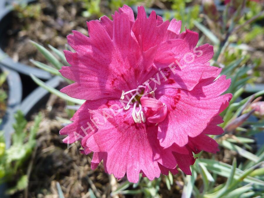 Hvozdík sivý 'Dobbelt Karmin' - Dianthus gratianopolitanus 'Dobbelt Karmin'