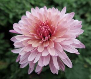 Listopadka indická 'Anastasia' - Chrysanthemum indicum 'Anastasia'