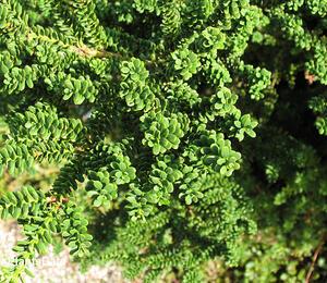 Tis červený 'Amersfoort' - Taxus baccata 'Amersfoort'