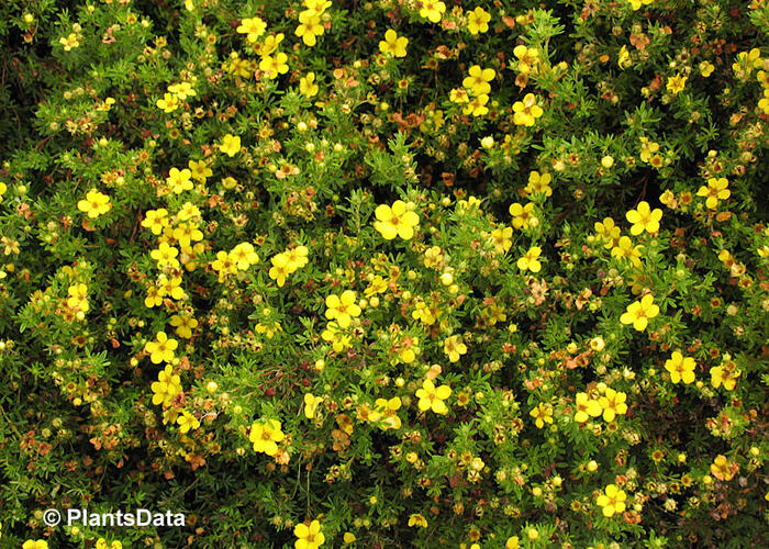 Mochna křovitá 'Golden Kissen' - Potentilla fruticosa 'Golden Kissen'