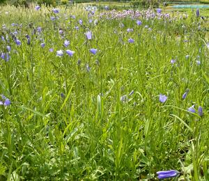 Zvonek okrouhlolistý 'Thumbell Blue' - Campanula rotundifolia 'Thumbell Blue'