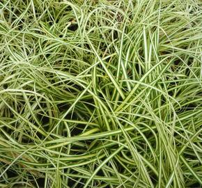 Ostřice ošimenská 'Evergold Compact' - Carex oshimensis 'Evergold Compact'