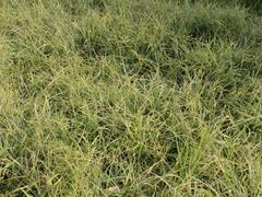 Ostřice 'Anago Kompakt' - Carex conica 'Anago Kompakt'