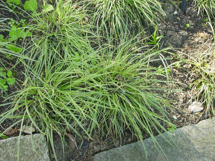 Ostřice - Carex conica
