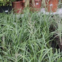 Třtina chloupkatá 'Summer Fountain' - Calamagrostis brachytricha 'Summer Fountain'