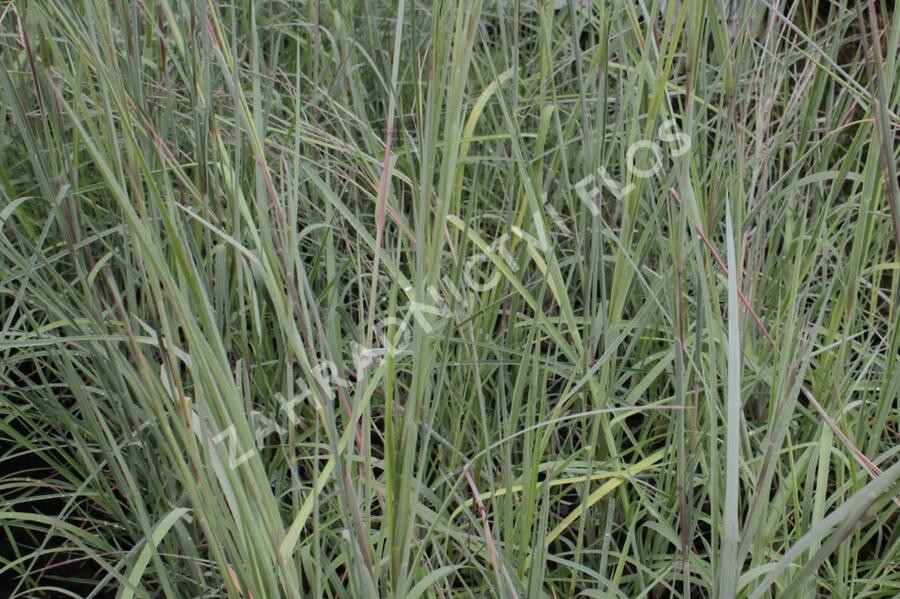 Vousatice metlatá 'Prairie Blues' - Andropogon scoparius 'Prairie Blues'