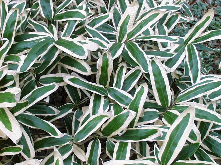 Bambus - Sasa veitchii