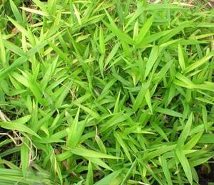 Bambus - Pleioblastus humilis