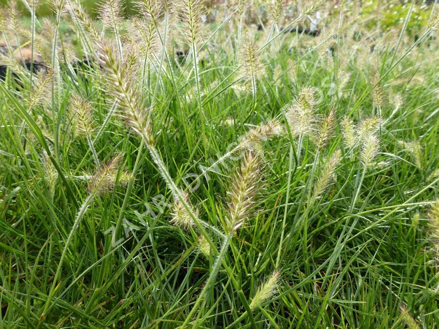 Dochan psárkovitý 'Weserbergland' - Pennisetum alopecuroides 'Weserbergland'