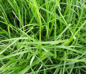 Dochan psárkovitý - Pennisetum alopecuroides var. viridescens