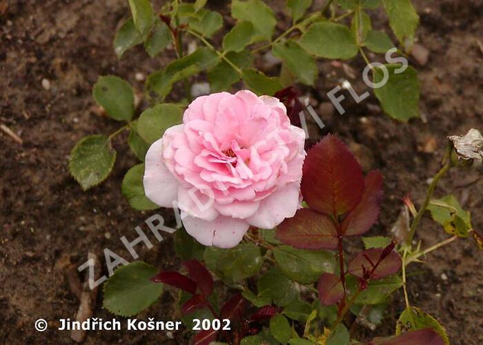 Růže mnohokvětá 'Elfe' - Rosa MK 'Elfe'