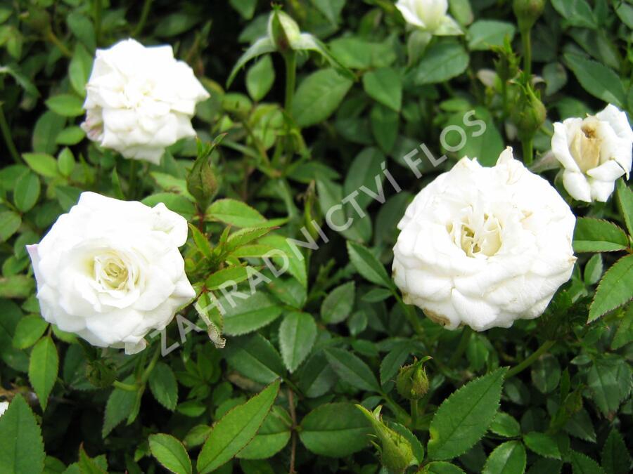 Růže mini 'White' - Rosa MI 'White'