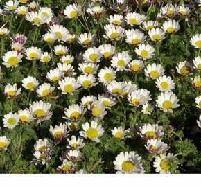 Kruhovník var. depressus - Anacyclus pyrethrum var. depressus