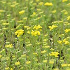 Tařice horská 'Tekara' - Alyssum montanum 'Tekara'