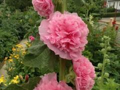 Topolovka růžová 'Chater's Lachsrosa' - Alcea rosea plena 'Chater's Lachsrosa'