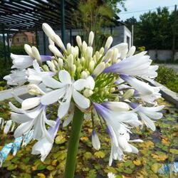 Kalokvět východní 'Queen Mum' - Agapanthus orientalis 'Queen Mum'