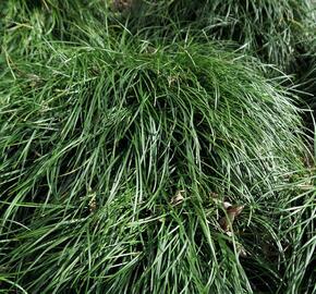 Sedoulek japonský - Ophiopogon japonicus